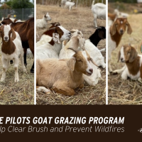 SDG&E Pilots Goat Grazing Program to Help Clear Brush and Prevent Wildfires